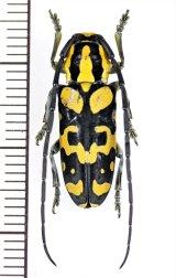 カミキリムシの一種 Tragocephala variegata ♂ タンザニア