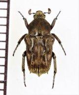 アリノスハナムグリの一種 Cymophorus undatus ♂ カメルーン