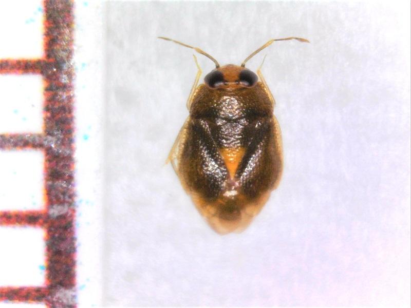 最近見つけたダルマカメムシの一種 Isometopus sp.