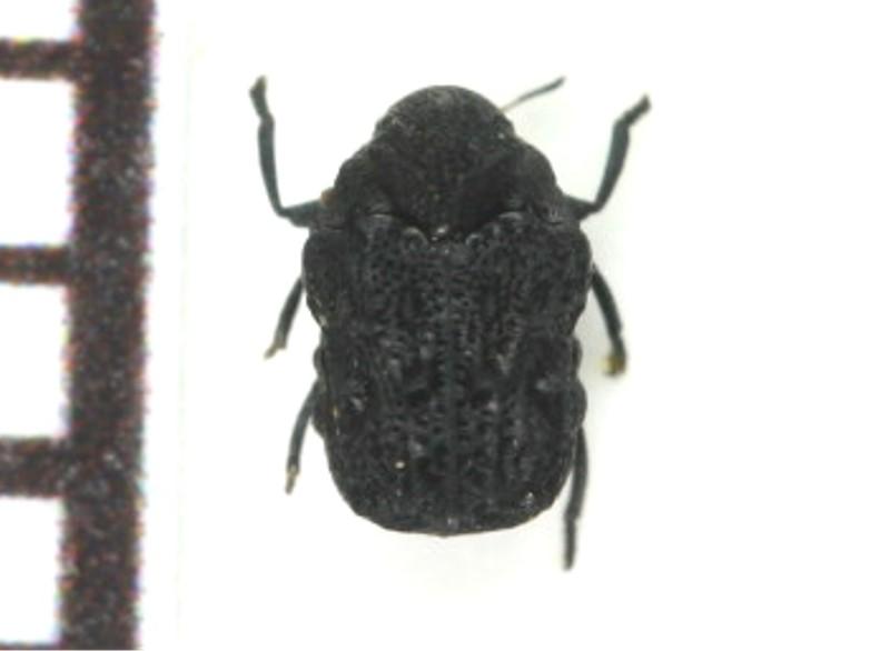 コブハムシ属Chlamisusの未記載種? Chlamisus sp.