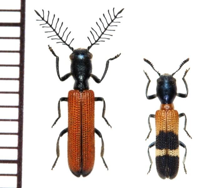 イシガキフサヒゲカッコウムシ(Diplopherusa kitamurai Nakane, 1989)
