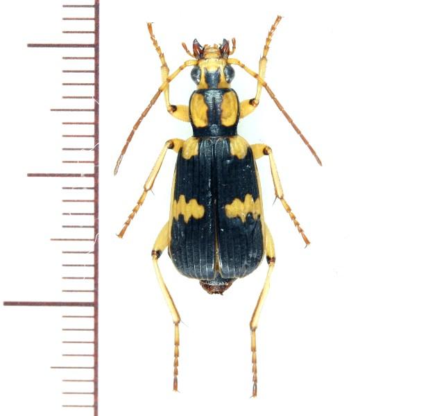 オオミイデラゴミムシ ♀ 石垣島 - Insect Islands ~南の島の昆虫標 ...